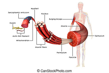 Muscle is a soft tissue found in most animals Muscle cells...