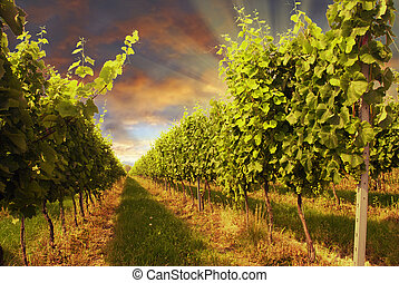 Vineyard and sunset