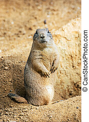Groundhog (Marmota monax) - The groundhog (Marmota monax),...