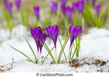 Violet crocuses - Beautiful violet crocuses on the snow