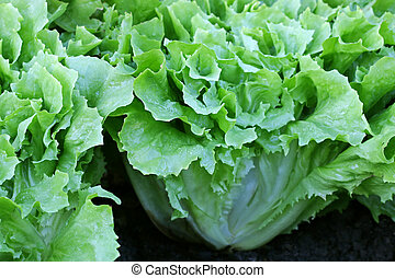 Endive Salad leaves in the garden - Home grown Broad-leaved...
