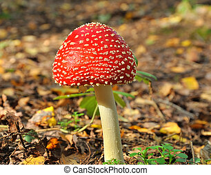 Fly-agaric - Red fly agaric in autumn forest-focusing in the...
