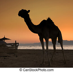 Silhouette camel at sunset