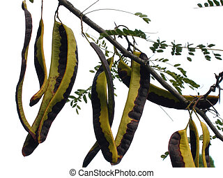Carob or Ceratonia tree fruits