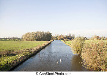 swans in the Hollandse ijssel near achthoven in the...