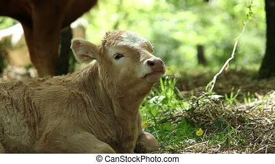 Calf ruminating - A calf is ruminating in a tranquil and...