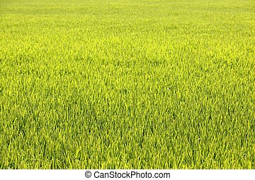 Rice cereal green fields in Spain on sunny day