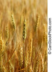 golden wheat cereal yellow field - Beautiful golden wheat...