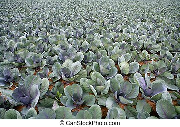 Cabbage fields, rows of vegetable food
