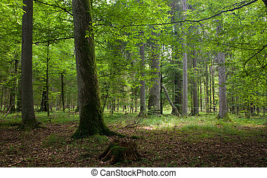 Natural stand of Bialowieza forest Landscape reserve with...