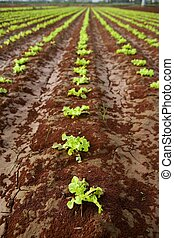 Baby lettuce sprouts on a red claiy soil, vegetable...