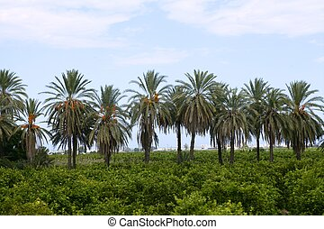 Palm trees in an Mediterranean orange tree field - Palm...