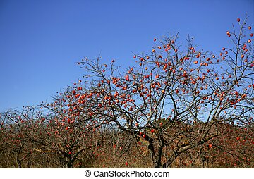 Persimon tree field with vivid fruis and blue sky