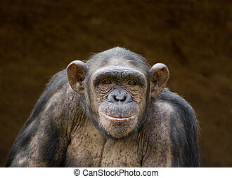 chimpanzee - portrait of a chimpanzee