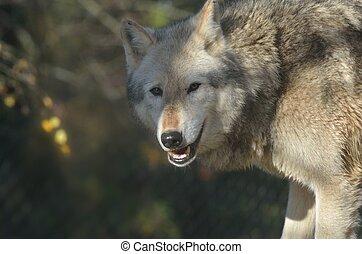 Wolf head - Head of Wolf