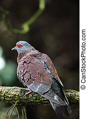 Speckled Pigeon (Columba guinea) sitting on a branch.