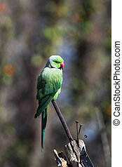 Rose-ringed Parakeet (Psittacula krameri) sitting on an iron...
