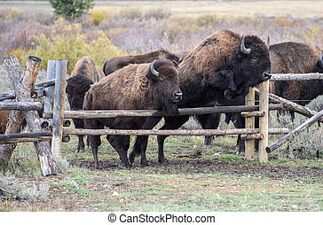 American Bison roaming in Wyoming. Almost thousand animals...