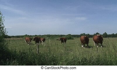 Dutch Deep Red cattle herd, cows in pasture - on camera....