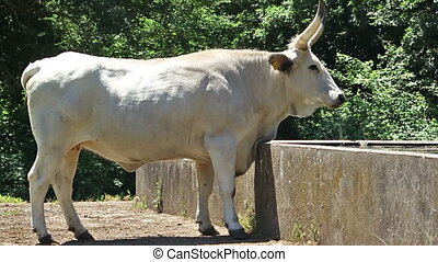 White long horn cow - A white long horn cow is drinking...