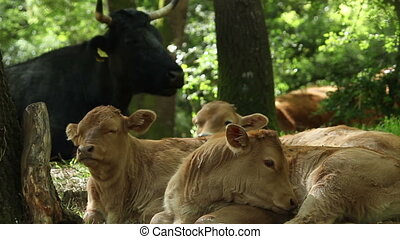 Two calves - Two young calves are quietly sitting under a...