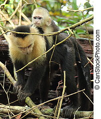Mother capuchin monkey and baby