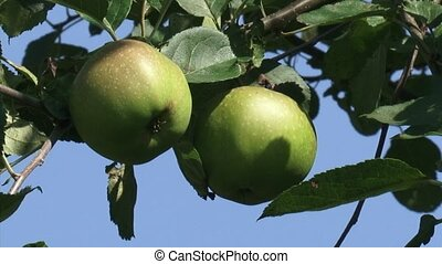 Old-growth european apple tree with fruit. Pair of apples...