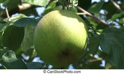 Old-growth european apple tree with fruit, green apple -...