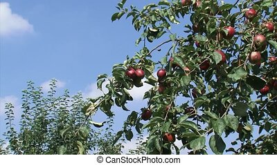 european apple tree with fruit - red apples + zoom in branch...
