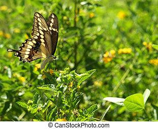 Swallowtail Butterfly Feeding 1