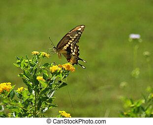 Swallowtail Butterfly Feeding