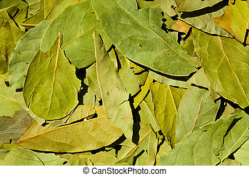 Bay Leaf - Bay leaf background; close-up, macro view