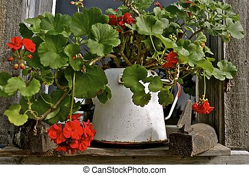 Enamel pot of geranium flowers - In the window ledge of an...