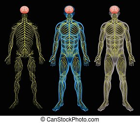 The nervous system - The human nervous system on a black...
