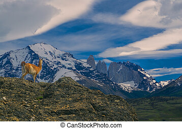 Guanaco in national park Torres del Paine in south American...