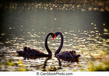 swans in love together background at pang ung meahongson...