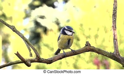 Blue tit in autumn - slow motion