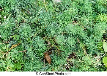 milkweed decorative