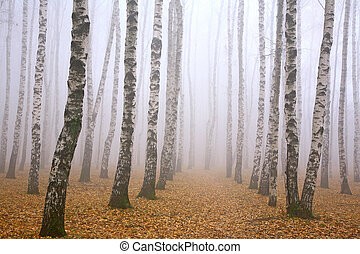 Pathway in mist birch grove