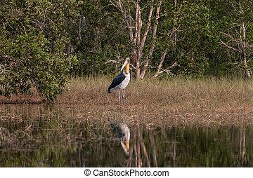 Lesser adjutant stork Leptoptilos javanicus in nature, Ko...