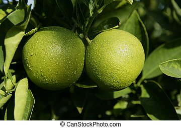 Green growing oranges hanging from tree