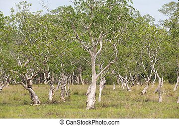 ( Paper Bark Tree) in eastern of thailand - Stock Image