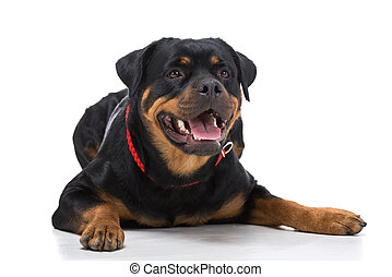 Dogs - Portrait of a purebred rottweiler with red thong on a...