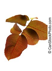 Autumn, fall leaves decorative still at studio white...