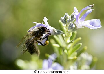 Bee macro in a mediterranean rosemary flower, on green blur...
