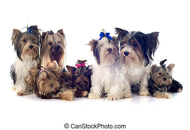 group of yorkshire terrier - group of yorkshire terrier in...
