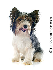 biewer,  terrier,  Yorkshire