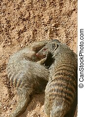 Two dwarf mongoose playing over sand