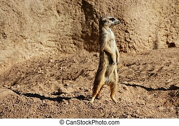 Madagascar Suricata on a clay landscape - Madagascar...
