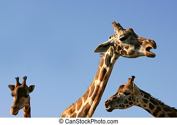 Giraffe portrait, head and neck over blue sky - Three...